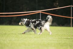 Dog, Australian Shepherd, walking with dumbbell in his mouth Royalty Free Stock Photography