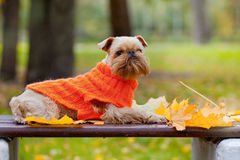 Dog and autumn. Stock Images