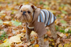 Dog and autumn. Royalty Free Stock Photography