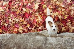 DOG AUTUMN BACKGROUNDS. JACK RUSSELL PLAYING WITH COLORFUL FALL LEAVES. HIGH ANGLE VIEW.  royalty free stock photos