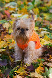 Dog and autumn. Dog of breed the Brussels griffon sits in a park in autumn royalty free stock photography