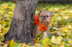 Dog and autumn. Dog of breed the Brussels griffon sits in a park in autumn royalty free stock image