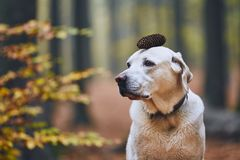 Dog in autumn forest. Funny portrait of labrador retriever with pine cone on head stock photo
