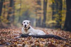 Dog in autumn forest. Sad dog in autumn forest. Old labrador retriever lying on pathway with stick stock photo
