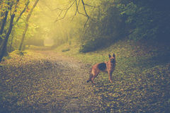 Dog in autumn forest with sun light Stock Images