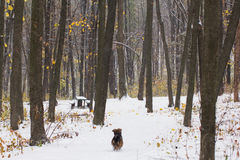The dog in an autumn forest which covered by first snow Stock Photography