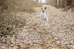 DOG AUTUMN. FUNNY JACK RUSSELL PLAYING AND JUMPING WITH FALL LEAVES. HAPPYNESS CONCEPT stock image