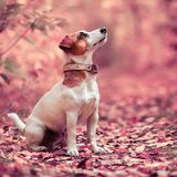 Dog at autumn. Jack russell. Dog at autumn. Jack russel terrier outdoors. Pet royalty free stock photo