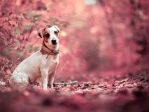 Dog at autumn. Jack russell. Dog at autumn. Jack russel terrier outdoors. Pet royalty free stock image