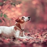Dog at autumn. Jack russell. Dog at autumn. Jack russel terrier outdoors. Pet stock photo