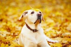 Dog in autumn Stock Image