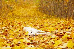 Dog in autumn Royalty Free Stock Photo