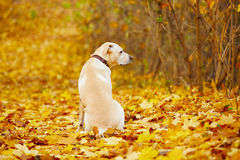 Dog in autumn Stock Images