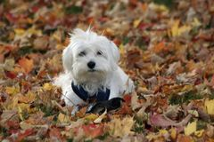 Dog in Autumn Leaves. A small white dog playing in Autumn leaves Royalty Free Stock Image