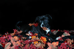 Dog in autumn leaves. A black dog in a pile of autumn leaves Stock Photos