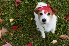 DOG AUTUMN LEAVES. ADORABLE PORTRAIT OF A JACK RUSSELL TERRIER WITH A RED FALL LEAF OVER THE HEAD AND LOOKING UP THE CAMERA.  royalty free stock image
