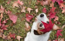 DOG AUTUMN LEAVES. ADORABLE PORTRAIT OF A JACK RUSSELL TERRIER W. ITH A RED FALL LEAF OVER THE HEAD AND LOOKING THE CAMERA stock image