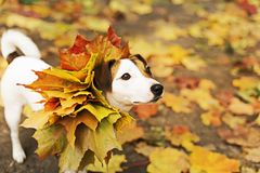 Dog in autumn leaves, Golden autumn. The dog in autumn leaves, Golden autumn Royalty Free Stock Photography
