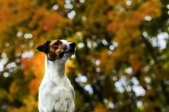 Dog in autumn leaves, Golden autumn. The dog in autumn leaves, Golden autumn Stock Image