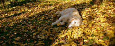 Dog and autumn leaves royalty free stock photos
