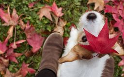DOG AUTUMN LEAVES.  PORTRAIT OF A JACK RUSSELL TERRIER WITH A RED FALL LEAF OVER THE HEAD AND LOOKING THE CAMERA WITH ITS FEMALE. DOG AUTUMN LEAVES. PORTRAIT OF royalty free stock image