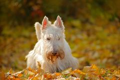 Dog in autumn leaves. White wheaten Scottish terrier, sitting on gravel road with orange leaves during autumn, yellow tree forest. Czech stock images