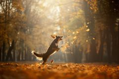 Dog autumn on nature. active Pet in the Park. Yellow foliage. Border collie tricolor stock photos
