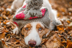 Dog in autumn park. Dog in cap in autumn park lying on the fallen leaves Stock Photos