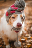 Dog in autumn park in a hat. Portrait of a dog in a hat with a pompom in the mouth for a walk in the autumn park. trained dog Royalty Free Stock Image
