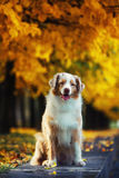 Dog in autumn park. Dog portrait in autumn park with fallen leaves Royalty Free Stock Photos