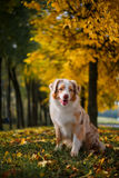 Dog in autumn park Stock Photography