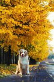 Dog in autumn park. Dog portrait in autumn park with fallen leaves Stock Photos