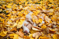 Dog in autumn park Royalty Free Stock Photo