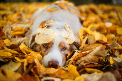 Dog in autumn park. Dog portrait in autumn park with fallen leaves Stock Images