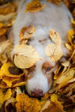 Dog in autumn park. Dog portrait in autumn park with fallen leaves Stock Photography