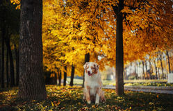 Dog in autumn park. Dog portrait in autumn park with fallen leaves Stock Photo