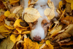 Dog in autumn park Royalty Free Stock Photography