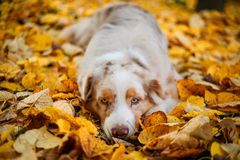 Dog in autumn park Royalty Free Stock Images