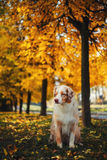 Dog in autumn park. Portrait of a dog for a walk in the autumn park. trained dog. blue-eyed dog Stock Photography