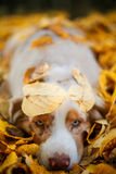 Dog in autumn park. Portrait of a dog  for a walk in the autumn park. trained dog. blue-eyed dog Stock Images