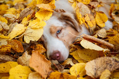 Dog in autumn park. Portrait of a dog  for a walk in the autumn park. trained dog. blue-eyed dog Stock Photos
