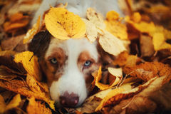 Dog in autumn park. Portrait of a dog for a walk in the autumn park. trained dog. blue-eyed dog.dog lying in a pile of yellow fallen leaves Stock Photography
