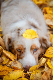 Dog in autumn park. Portrait of a dog for a walk in the autumn park. trained dog. blue-eyed dog.dog lying in a pile of yellow fallen leaves Royalty Free Stock Photos