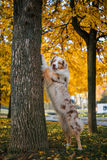 Dog in autumn park Royalty Free Stock Photos