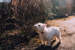 Dog at autumn park, sunset warm rays. West highland white terrier at autumn park, sunset waling dog staying near the bush in warm sun rays Royalty Free Stock Photo