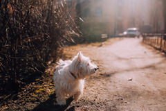 Dog at autumn park, sunset warm rays. West highland white terrier at autumn park, sunset waling dog staying near the bush in warm sun rays Stock Image