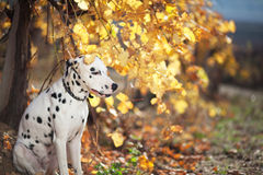 Dog in autumn vineyard Stock Photography