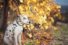 Dog in autumn vineyard. A dalmatian outdoor during autumn Stock Photography