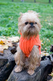 Dog on an autumn walk. Dog of breed the Brussels griffon sits in a park in autumn stock photography