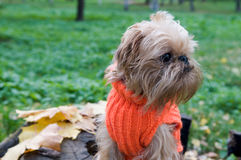 Dog on an autumn walk. Dog of breed the Brussels griffon sits in a park in autumn royalty free stock photography